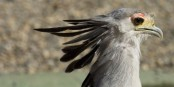 Wer solche Vögel einmal live und ganz aus der Nähe mitbekommen will, der sollte einen Ausflug nach Kintzheim einplanen! Foto: VdA