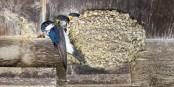Schwalben-Naturnest auf Stützelement. Foto: Schweizerische Vogelwarte Sempach