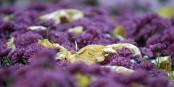 Herbst und Chrysanthemen - das passt in Lahr besser als anderswo in Europa. Foto: www.chrysanthema.lahr.de