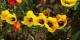 """Für uns am Oberrhein - """"Narzissus und der Tulipan, die ziehen sich so herrlich an, wie Salomonis Seide..."""" Foto: Eurojournalist(e)"""