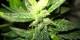 En légalisant le cannabis, le législateur allègera les tribunaux et prison, tout en évitant de pénaliser jusqu'à un tiers de la population. Foto: Eric Fenderson / Wikimedia Commons / PD