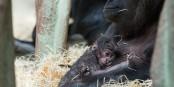 Né seulement mardi dernier, le bébé gorille fait déjà ses premières excursions - avant même d'avoir un nom. Foto: (c) Zoo Basel