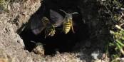Die Wespe (vespula vulgaris) nervt dieses Jahr besonders. Versuchen Sie trotzdem, ruhig zu bleiben... Foto: Soebe / Wikimedia Commons / CC-BY-SA 3.0