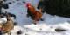 Wer hat denn nur die 17 Hühner geklaut, fragen sich die Polizei und wir natürlich auch... Foto: Nesweda / Wikimedia Commons / CC-BY-SA 3.0