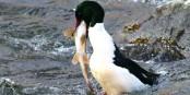 Ce canard a failli s'étouffer en avalant ce poisson... Foto: (c) Peter Küchler