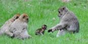 Den als Art stark bedrohten Berberaffen scheint es auf dem Affenfelsen im elsässischen Kintzheim ziemlich gut zu gehen. Foto: La Montagne des Singes