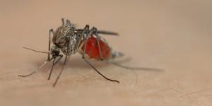 Ils ne peuvent pas nous sucer le sang sans nous ternir réveillés ?!? Foto: Flixus de / de.wikipedia.org / Wikimedia Commons / CC-BY-SA 3.0