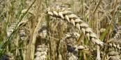 Dass die französischen Weizenexporte eingebrochen sind, ist eine schlechte nachricht für ganz Europa. Foto: Bluemoose / Wikimedia Commons / CC-BY-SA 3.0