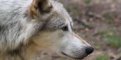 Wir sollten froh und dankbar sein, wenn es gelingt, den Wolf in unseren Wäldern anzusiedeln. Foto: Mariofan13 / Wikimedia Commons / CC-BY-SA 3.0
