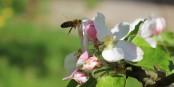 Wenn die Bienen aussterben, wird damit das Ende des Naturkreislaufs eingeläutet. Vor allem für den Menschen. Foto: Justice7819 / Wikimedia Commons / CC-BY-SA 3.0