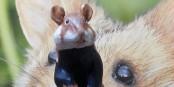 Le grand hamster - une espèce en voie de disparition. Foto: Franck Dautel