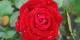 """Depuis 1996, cette rose porte le nom """"Helmut Kohl"""" - un joli hommage aussi. Foto: Huhu Uet / Wikimedia Commons / CC-BY-SA 3.0"""