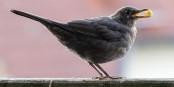 Les espèces aviaires les plus commune sont menacées ! Foto: ermell / Wikimedia Commons / CC-BY-SA 4.0int