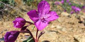 "La Niviarsak ou ""petite fille"", fleur de la toundra groenlandaise Foto: Kim Hansen / Wikimédia Commons / 3.0int"