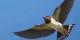 Une hirondelle ne fait pas encore le printemps... Foto: Haltostress / Wikimedia Commons / CC-BY-SA  4.0int
