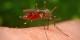 """Un joli """"Aedes japonicus"""" en plein repas... Foto: James Gathany, CDC / Wikimedia Commons / PD"""