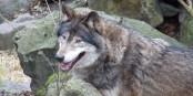 Ne lâchons pas les loups de Skansen ! Foto: Onésime / Wikimédia Commons / CC-BY-SA / 3.0Unp