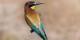 Guêpier d'Europe : c'est le nom de cet oiseau...  Foto:  El Golli Mohammed / Wikimédia Commons / CC-BY-SA 4.0Int