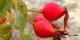 Les rosiers pourront-ils à nouveau porter des fruits, un jour ?  Foto:  Unkn. / Wikimédia Commons / CC-BY-SA PD