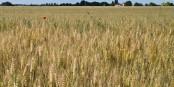 Voilà à quoi ressemblent des épis de blé Foto: Myrabella / Wikimédia Commons / CC-BY-SA 3.0Unp