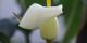 L'Arum, symbole d'éternité et... de l'IRA  Foto: Rüdiger Kratz/Wikimédia Commons/CC-BY-SA 3.0Unp
