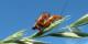 Gestatten - Rotgelber Weichkäfer. Anzahl - 2. Und weiter geht's mit der Zählung... Foto: Wolfgang Negendank / Wikimedia Commons / CC-BY-SA 4.0int