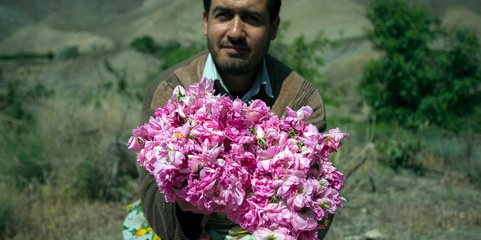 La récolte de roses dans la province d'Isfahan  Foto: Mostafameraji/Wikimédia Commons/CC-BY-SA 4.0Int