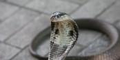 Eine solche, in Asien beheimatete Monokel-Kobra ist aus einer Wohnung in Herne entwichen. Foto: Thomas Jaehnel / Wikimedia Commons / CC-BY 2.0
