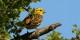 """Ce petit oiseau, le """"Yellowhammer"""" (bruant jaune) raconte actuellement aux Britanniques ce que c'est que le Brexit...  Foto: Charles J Sharp / Wikimedia Commons / CC-BY-SA 4.0int"""