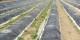La récolte des asperges ne pourra pas attendre un retour à la normale... Foto: Kmtextor / Wikimedia Commons / CC-BY-SA 4.0int