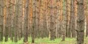 Une forêt de pins du côté de Luhansk  Foto: Wolodymyr Lawrynenko/Wikimédia Commons/CC-BY-SA/3.0Unp