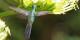 Le Cuban Emerald, un colibri au nombre des trésors de la biodiversité cubaine. Foto: Thomas Brown / Wikimedia Commons / CC-BY 2.0