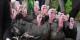 Dindes et dindons déconfinés  Foto: Père Igor/Wikimédia Commons/CC-BY-SA/3.0Unp