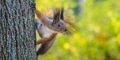 Est-ce que l'écureuil peut aider ou freiner la reprise de l'activité économique ? Foto: User:R. Naumov / Wikimedia Commons / CC-BY-SA 4.0int