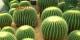 Plein de cactus sous le sapin à Strasbourg... Foto: kykoh / Wikimedia Commons / CC-BY 3.0