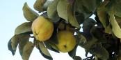Le coing (marmelo), fruit à la base de la « marmalada » portugaise. Foto: Bj Schoenmakers / Wikimedia Commons / CC0 1.0