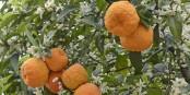 En turc comme en français, l'orange amère  (bigarade = turunç) et l'orange douce (orange = portakal), se nomment différemment. Foto: Zeynel Cebeci / Wikimedia Commons / CC-BY-SA 4.0int