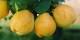 Le coing, un fruit tout en rondeur. Foto: Lazaregagnidze / Wikimedia Commons / CC-BY-SA 3.0