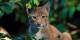 Le lynx, deviendra-t-il le nouveau symbole de la coopération transfrontalière ? Foto: Christoph Anton Mitterer / Wikimedia Commons / CC-BY(SA 2.0