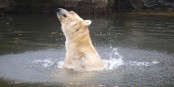 Angesichts der Personalentscheidungen der CDU schütteln sogar die Eisbären im Berliner Zoo den Kopf... Foto: Dellex / Wikimedia Commons / CC-BY-SA 3.0