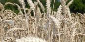 Pénurie de blé = flambée des prix = flambée du prix des pâtes... Foto: Rhetos / Wikimedia Commons / CC0 1.0