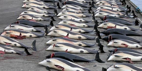 Diese Weißseitendelphine sind einer Wikinger-Tradition zum Opfer gefallen, die es nicht mehr geben dürfte. Foto: Erik Christensen / Wikimedia Commons / CC-BY-SA 3.0
